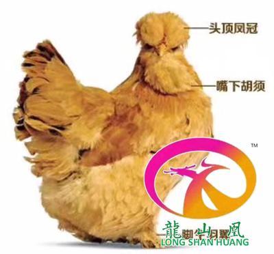 湖南省邵阳市隆回县北京油鸡苗