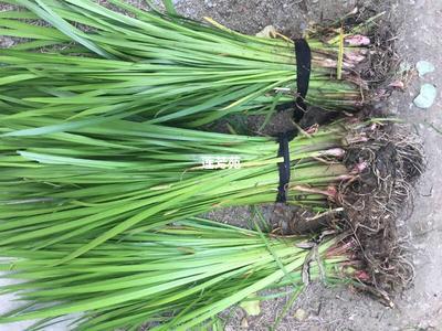 这是一张关于石菖蒲 野生菖蒲种苗批发的产品图片