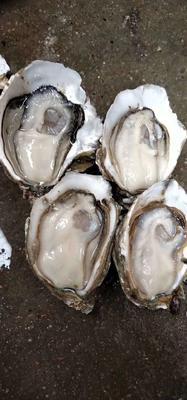 这是一张关于湛江牡蛎 人工殖养 2-3两/只的产品图片