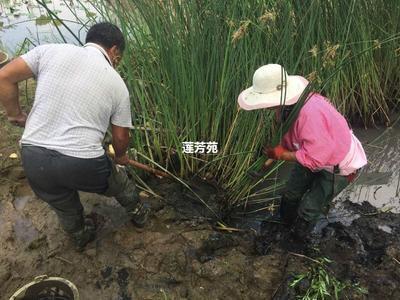 山东省济宁市微山县水葱 优质水葱种苗批发