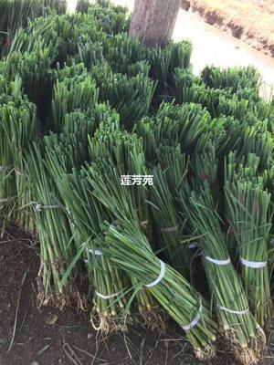山东省济宁市微山县香蒲种子 优质香蒲苗 易成活