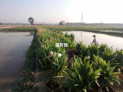 山东省济宁市微山县大花美人蕉 4~6cm 0.5米以下 水生美人蕉批发