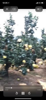 这是一张关于玉环柚 2.5斤以上的产品图片