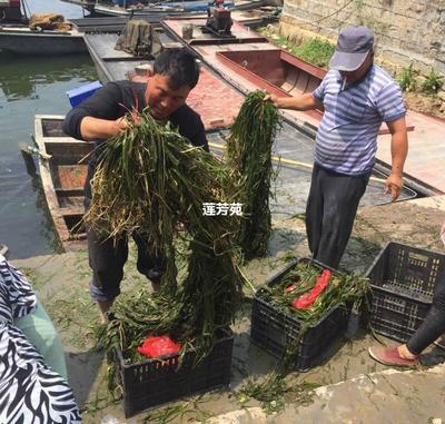 山东省济宁市微山县马来眼子菜 眼子菜种苗批发