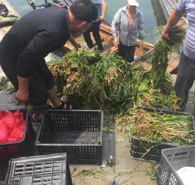 山东省济宁市微山县蓖齿眼子菜 优质蓖齿眼子菜种苗批