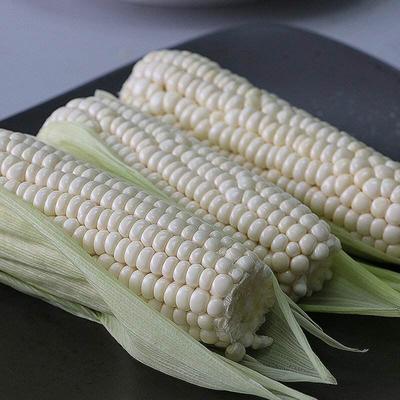 河南省周口市项城市白粘玉米2000