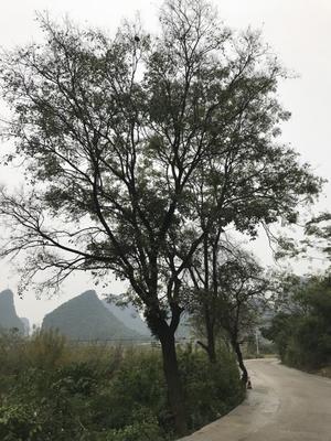 广西壮族自治区柳州市柳南区小叶朴