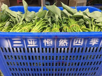海南省三亚市天涯区红薯叶