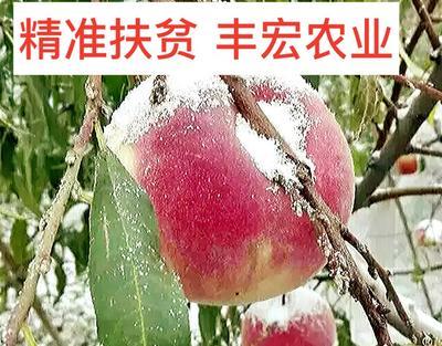 冬桃苗 1~1.5米 一级嫁接成品苗包纯