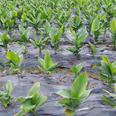 这是一张关于山姜 带土的产品图片