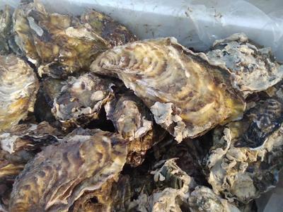 这是一张关于海阳牡蛎 2-3两/只 野生的产品图片