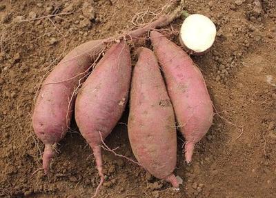 这是一张关于商薯19号 混装通货 红皮的产品图片