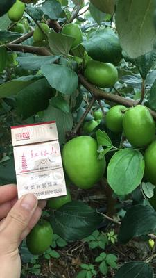 广西壮族自治区南宁市隆安县台湾青枣 50g以上 直口