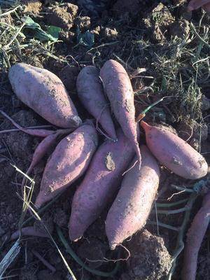 这是一张关于龙薯九号 混装通货 红皮的产品图片