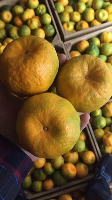这是一张关于芦柑 6.5 - 7cm 1.5 - 2两的产品图片