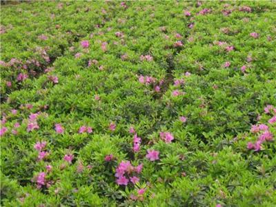 重庆巴南区春鹃 0.5米以下