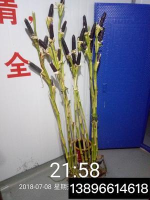 重庆南川区富硒黑玉米 净货 水份14%-16%