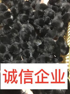 广西壮族自治区南宁市西乡塘区五黑鸡苗
