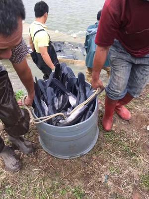 广东省佛山市高明区匙吻鲟 2-4公斤 人工殖养