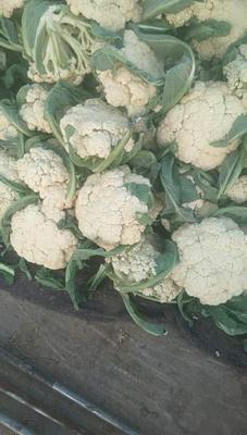 这是一张关于有机花菜 2~3斤 适中的产品图片