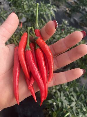 广东省茂名市高州市指天椒 5~10cm 红色 特辣