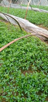 这是一张关于九叶青花椒苗 良种产业高、欢迎考察的产品图片