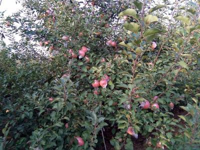 山东省临沂市莒南县红富士苹果 65mm以上 统货 膜袋