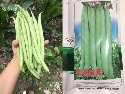 四川省成都市新都区紫花四季豆 20cm以上