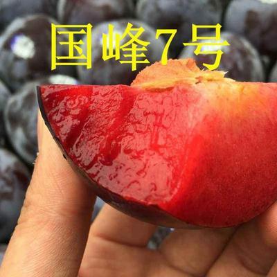 国峰7号李子苗 大果700克,甜度高