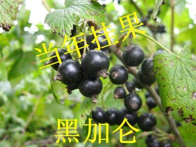 这是一张关于黑加仑苗的产品图片