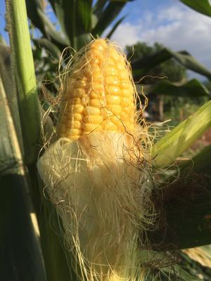 这是一张关于水果玉米 带壳 甜的产品图片