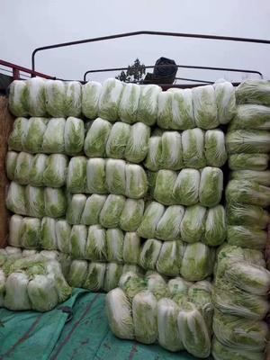 这是一张关于青杂三号白菜 3~6斤 毛菜的产品图片