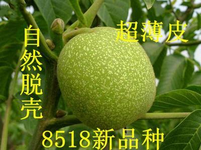 山东省临沂市平邑县8518核桃苗