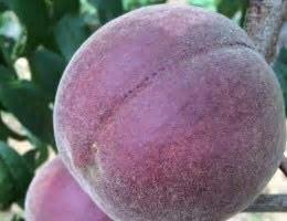 这是一张关于黑桃苗 1~1.5米的产品图片