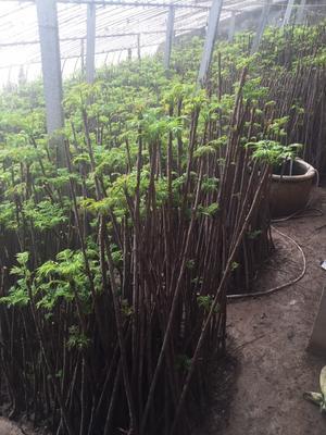 陕西省西安市灞桥区红油香椿芽 6cm以下