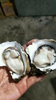 广西壮族自治区北海市铁山港区北海牡蛎 4-5两/只 人工殖养