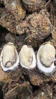 广东省湛江市徐闻县台山生蚝 人工殖养 2-3两/只