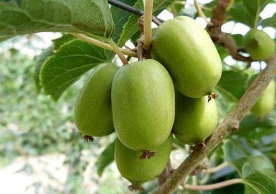 软枣猕猴桃苗 嫁接苗 试种5棵包邮,包栽活