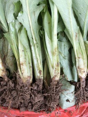广西壮族自治区玉林市博白县甜麦菜