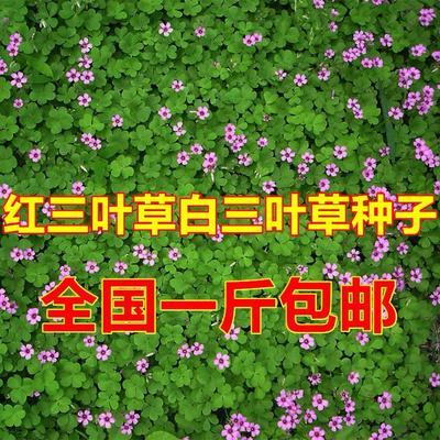 江苏省宿迁市沭阳县白三叶