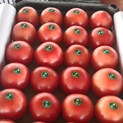 辽宁省丹东市东港市硬粉番茄 通货 弧二以上 硬粉
