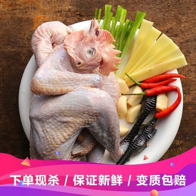 安徽省滁州市凤阳县鸡肉类 新鲜 新鲜 整只