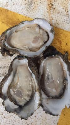 海南省三亚市崖州区湛江牡蛎 5-6两/只 人工殖养