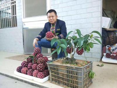 粉红黑老虎苗 黑老虎改良苗,特色水果苗。
