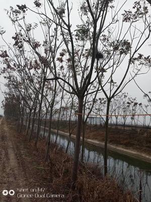 湖北省荆州市荆州区栾树