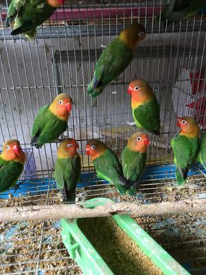 这是一张关于文鸟 的产品图片