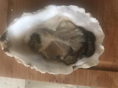 辽宁省大连市甘井子区太平洋牡蛎 6两以上/只   人工殖养