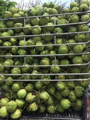 云南省西双版纳傣族自治州勐海县泰国香水椰 2 - 2.5斤