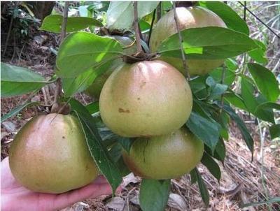 福建省龙岩市漳平市 红花油茶树