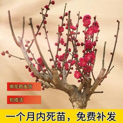 山东省临沂市平邑县红梅 十年大苗带花苞发货